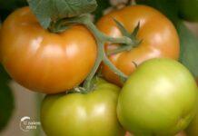 Agrosaveti---domaci-paradajz---01