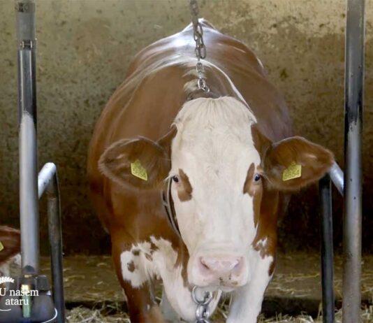 Agrosaveti---farma-krava---simentalska-rasa---03