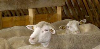 Agrosaveti---ovce---Il-de-frans---Beska---02