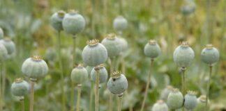 Agrosaveti---proizvodnja-maka---Krcedin---03
