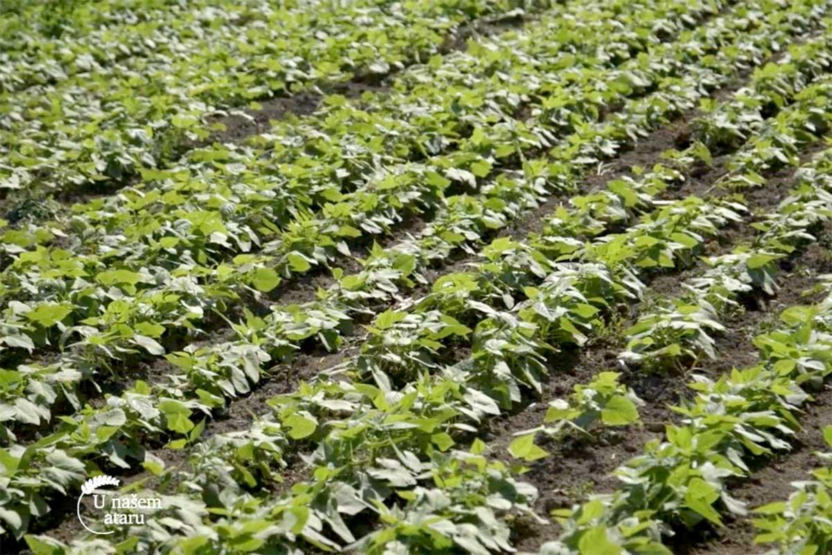 Agrosaveti---proizvodnja-pasulja---01
