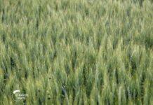 Agrosaveti---psenica---Kulpin---04