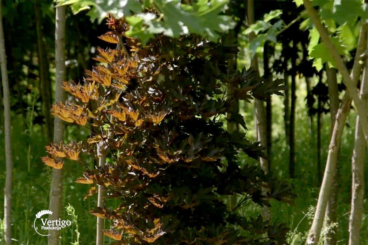 Agrosaveti---rasadnik-liscara---03