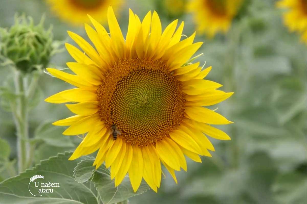 Agrosaveti---trovanje-pcela---suncokret---03