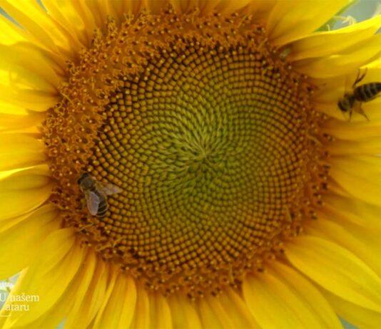 Agrosaveti---trovanje-pcela---suncokret---04