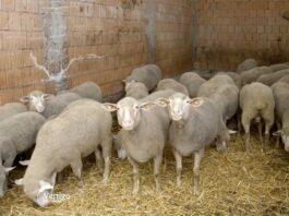 Agrosaveti---uzgoj-ovaca---Kulpin---02