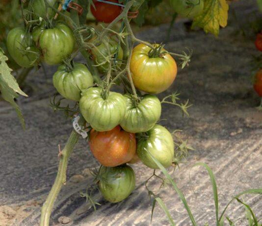 Agrosaveti---volovsko-srce---paradajz---organska-proizvodnja---01
