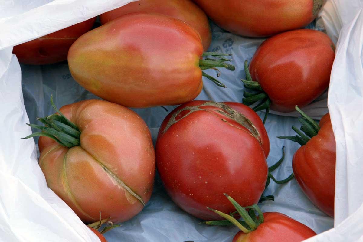 Agrosaveti---volovsko-srce---paradajz---organska-proizvodnja---04
