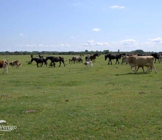 Agrosaveti---Krcedinska-ada---sistem-krava-tele---03