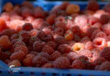 Agrosaveti---berba---malina---Badovinci---03