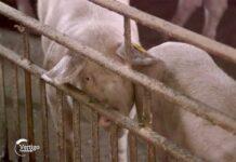 Agrosaveti---otkup-svinja---02