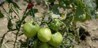 Agrosaveti---paradajz---volovsko-srce---02