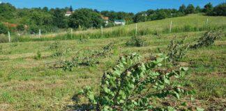 Agrosaveti---posecen-vocnjak---04
