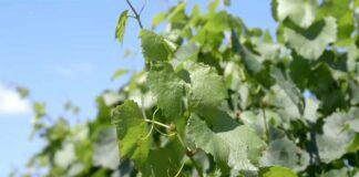 Agrosaveti---vina-sa-peska---Backi-Vinogradi---03