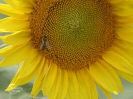 Suncokret--04
