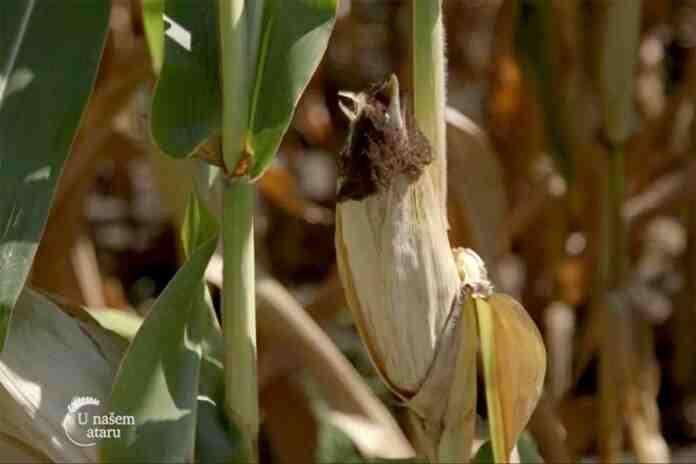 Agrosaveti---Turija---repa---soja---kukuruz---01