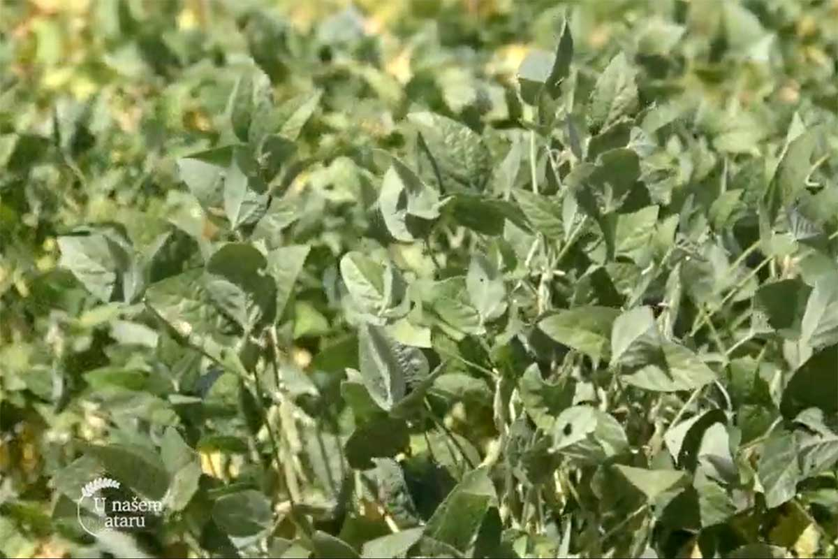 Agrosaveti---Turija---repa---soja---kukuruz---02