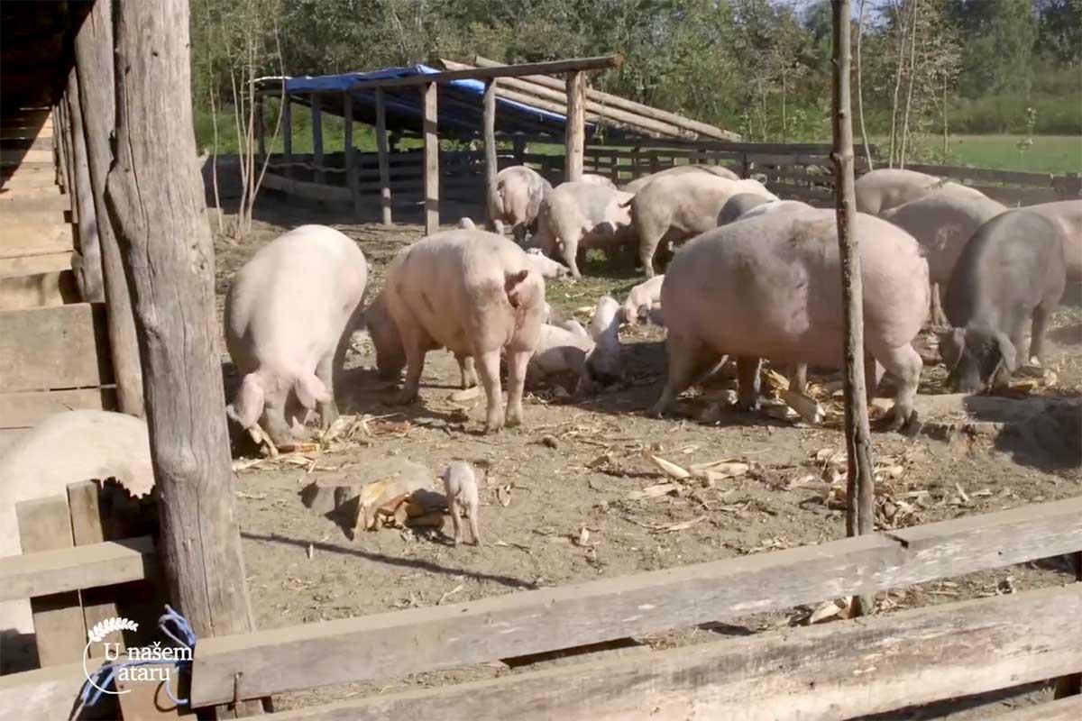 Agrosaveti---farma-svinja---proizvodnja-kulena---01