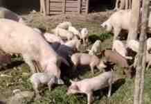 Agrosaveti---farma-svinja---proizvodnja-kulena---02