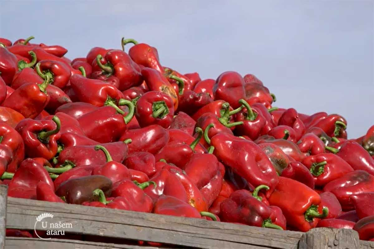 Agrosaveti---paprika---losa-godina---01