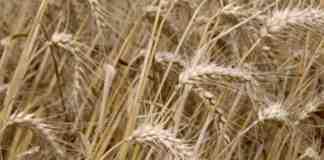 Agrosaveti---ratarska-godina-u-Macvi---01