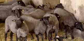 Agrosaveti---romanovska-ovca---02