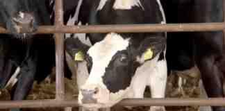 Agrosaveti---Frama-krava---Plavsic---Backa-Palanka---04