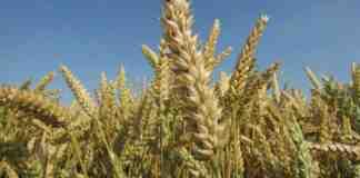Agrosaveti---LG-psenice---Aneri