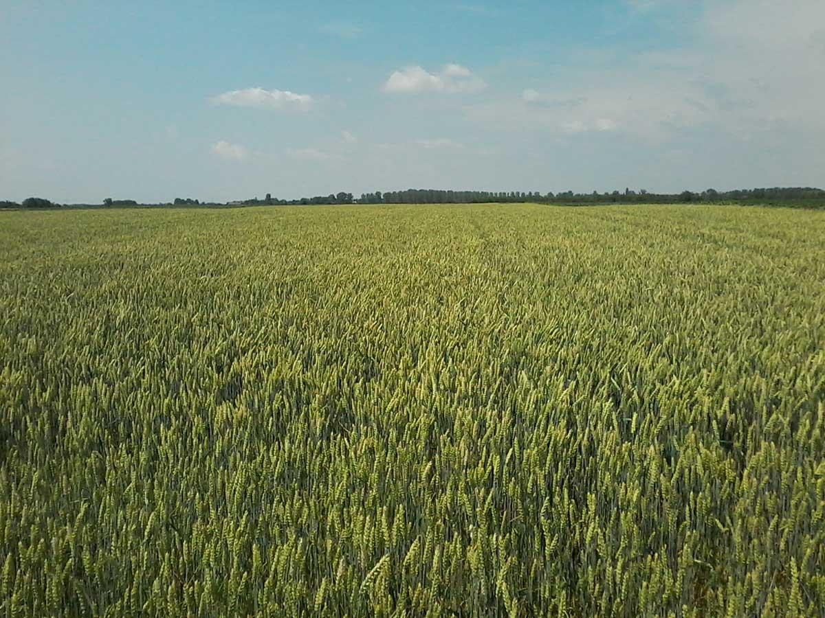 Agrosaveti---LG-psenice---NIKOL-2019