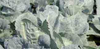 Agrosaveti---proizvodnja-futoskog-kupusa---Begec---03