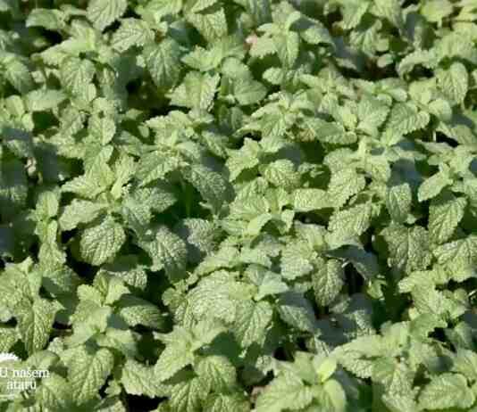 Agrosaveti---proizvodnja-maticnjaka---Bogatic---03