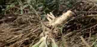 Agrosaveti---proizvodnja-rena---Glusci---01