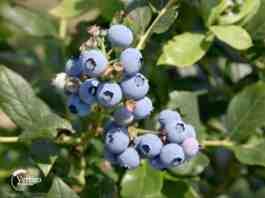 Agrosaveti---rezidba---borovnica---02