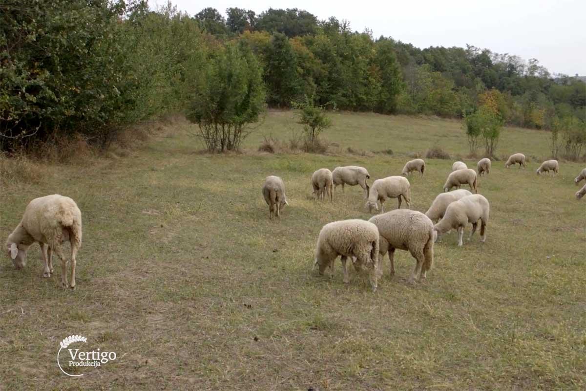 Agrosaveti---Albina---ovce---cobanica---01