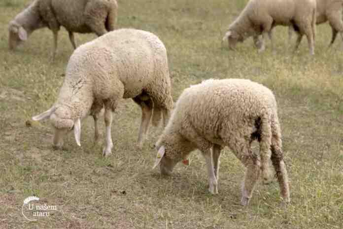 Agrosaveti---Albina---ovce---cobanica---03