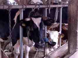 Agrosaveti---mlecno-govedarstvo---Pantelic---02