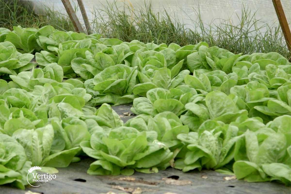 Agrosaveti---organsko-povrce---Letic---Cenej---03