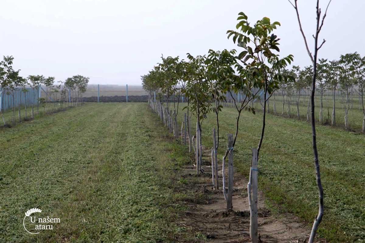 Agrosaveti---plantaza-oraha---Crepaja---01