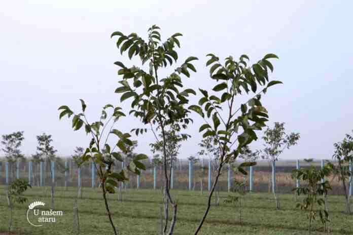 Agrosaveti---plantaza-oraha---Crepaja---02