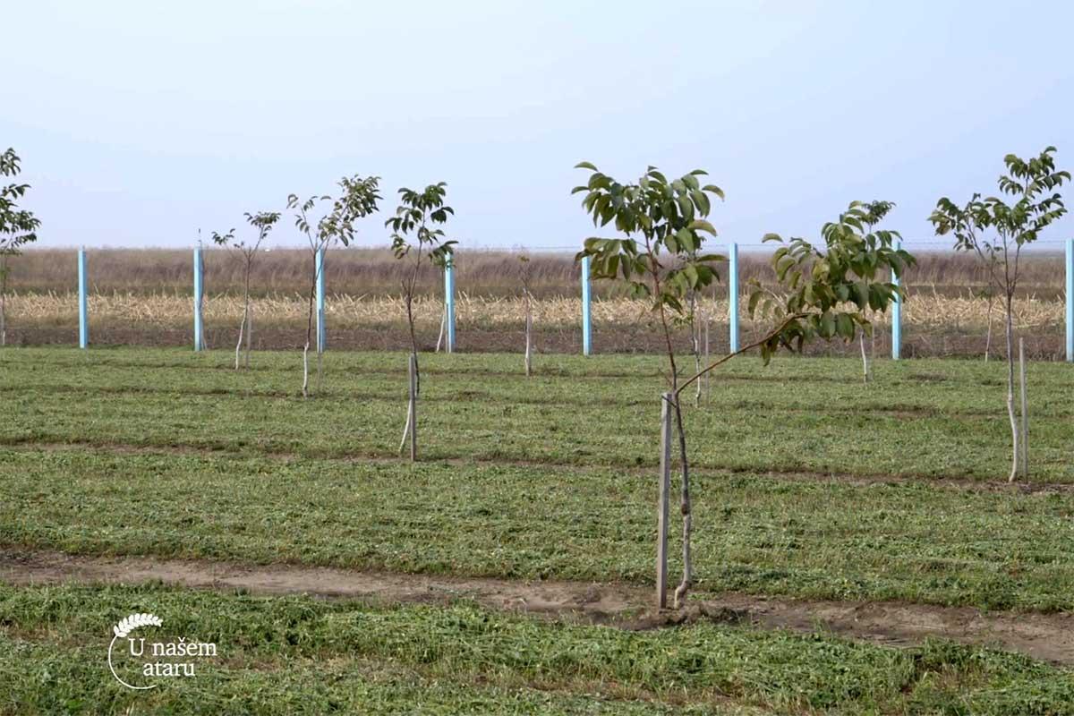 Agrosaveti---plantaza-oraha---Crepaja---03