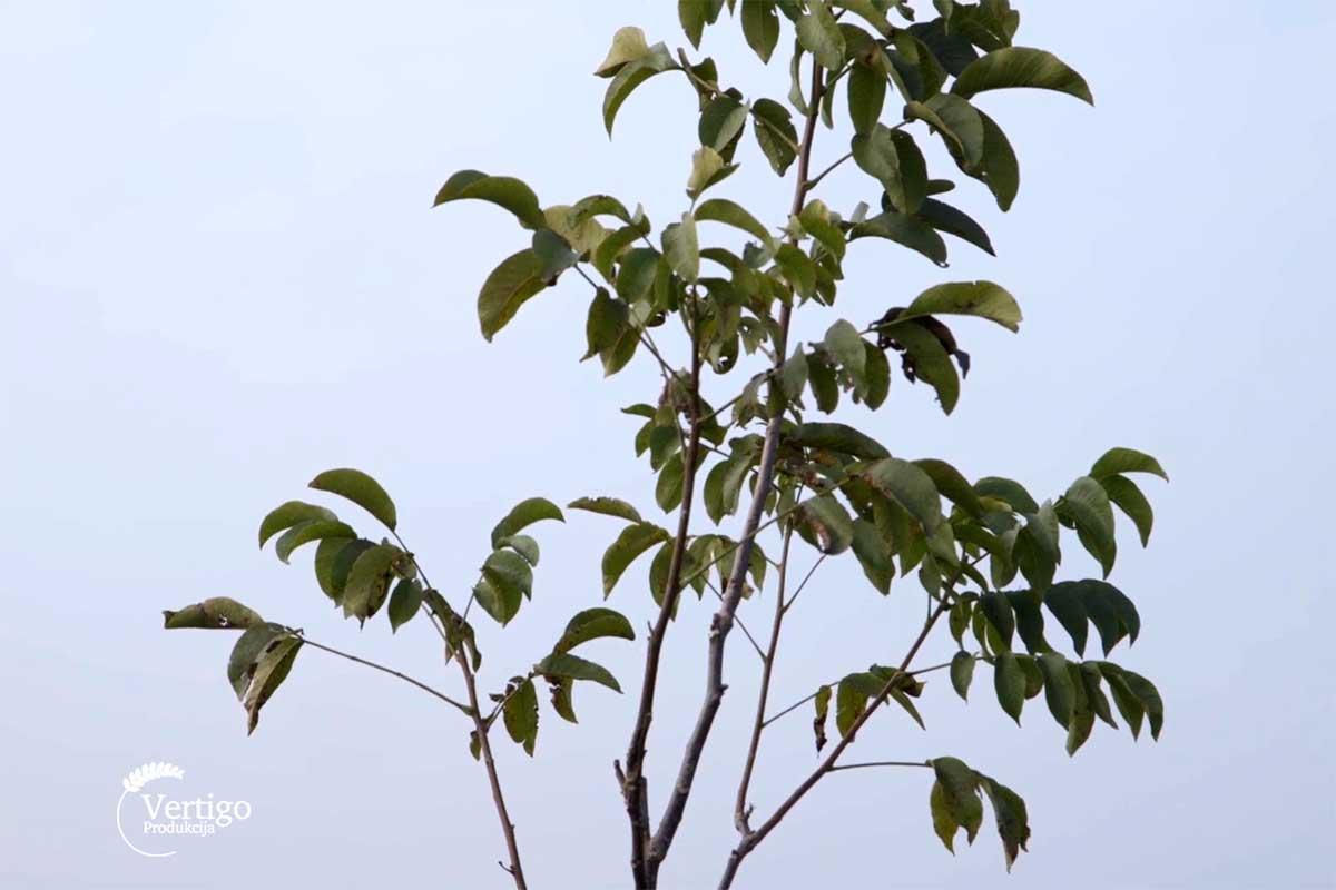 Agrosaveti---plantaza-oraha---Crepaja---04