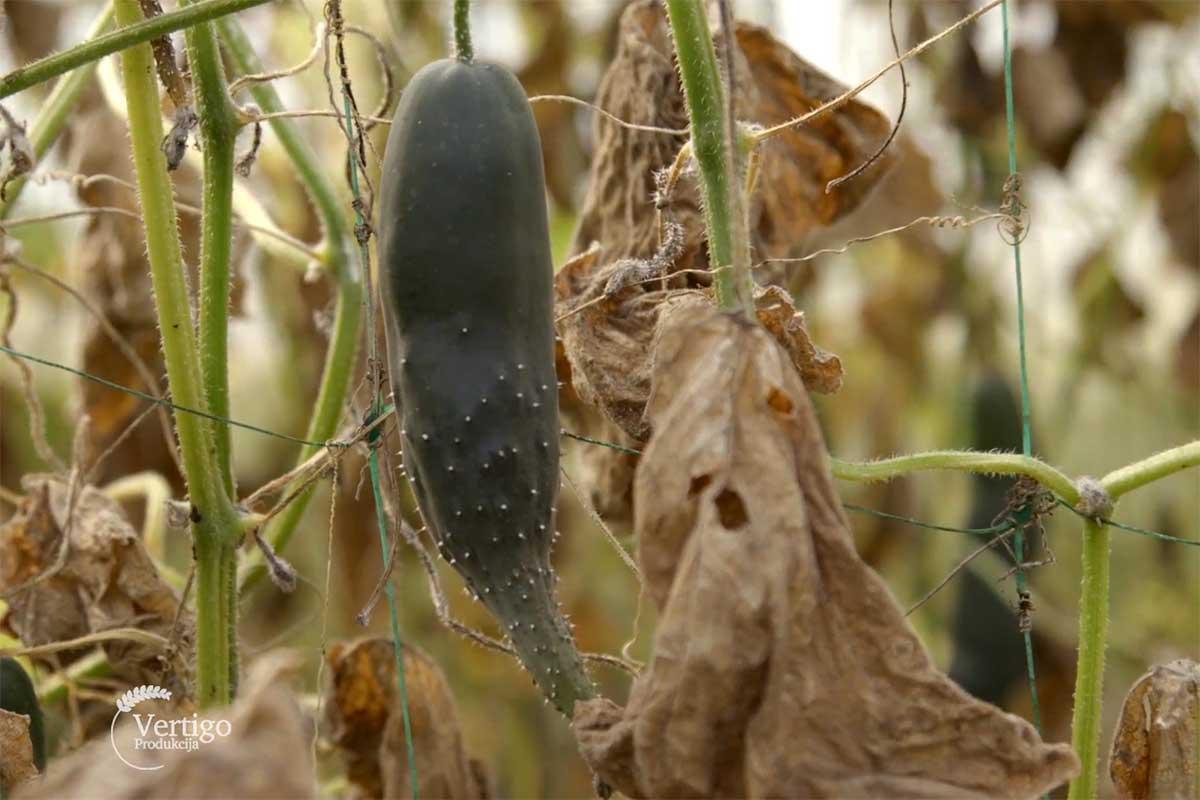 Agrosaveti---plastenicka-proizvodnja---povrce---Crepaja---02