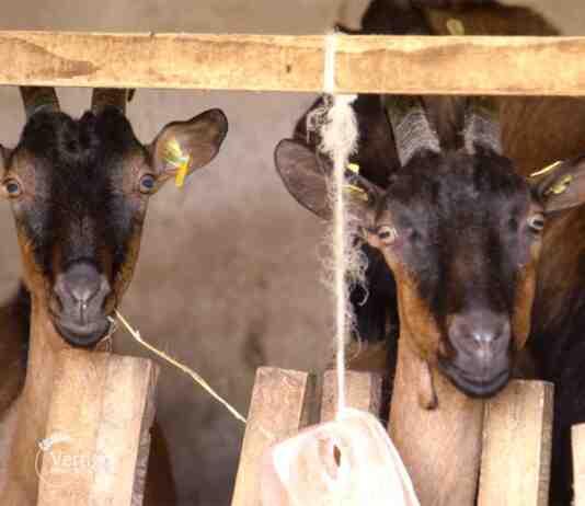 Agrosaveti---prerada-kozjeg-mleka---02