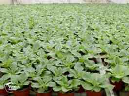 Agrosaveti---proizvodnja-cveca---02