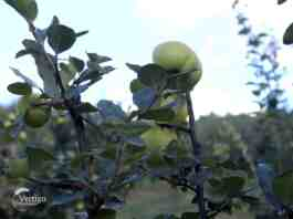 Agrosaveti---proizvodnja-dunje-i-rakije---02