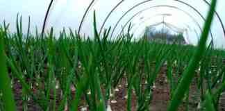 Agrosaveti---proizvodnja-mladog-luka---plastenici---03