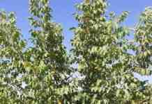Agrosaveti---rezidba-oraha