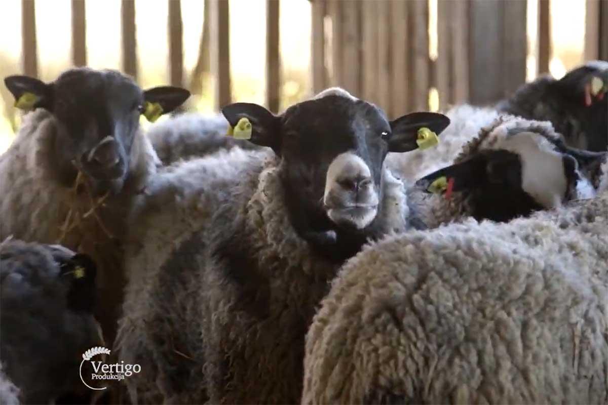 Agrosaveti---romanovske-ovce---Bac---02