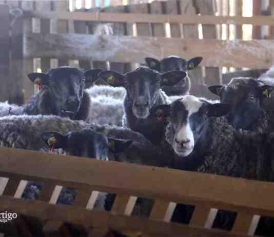 Agrosaveti---romanovske-ovce---Bac---03