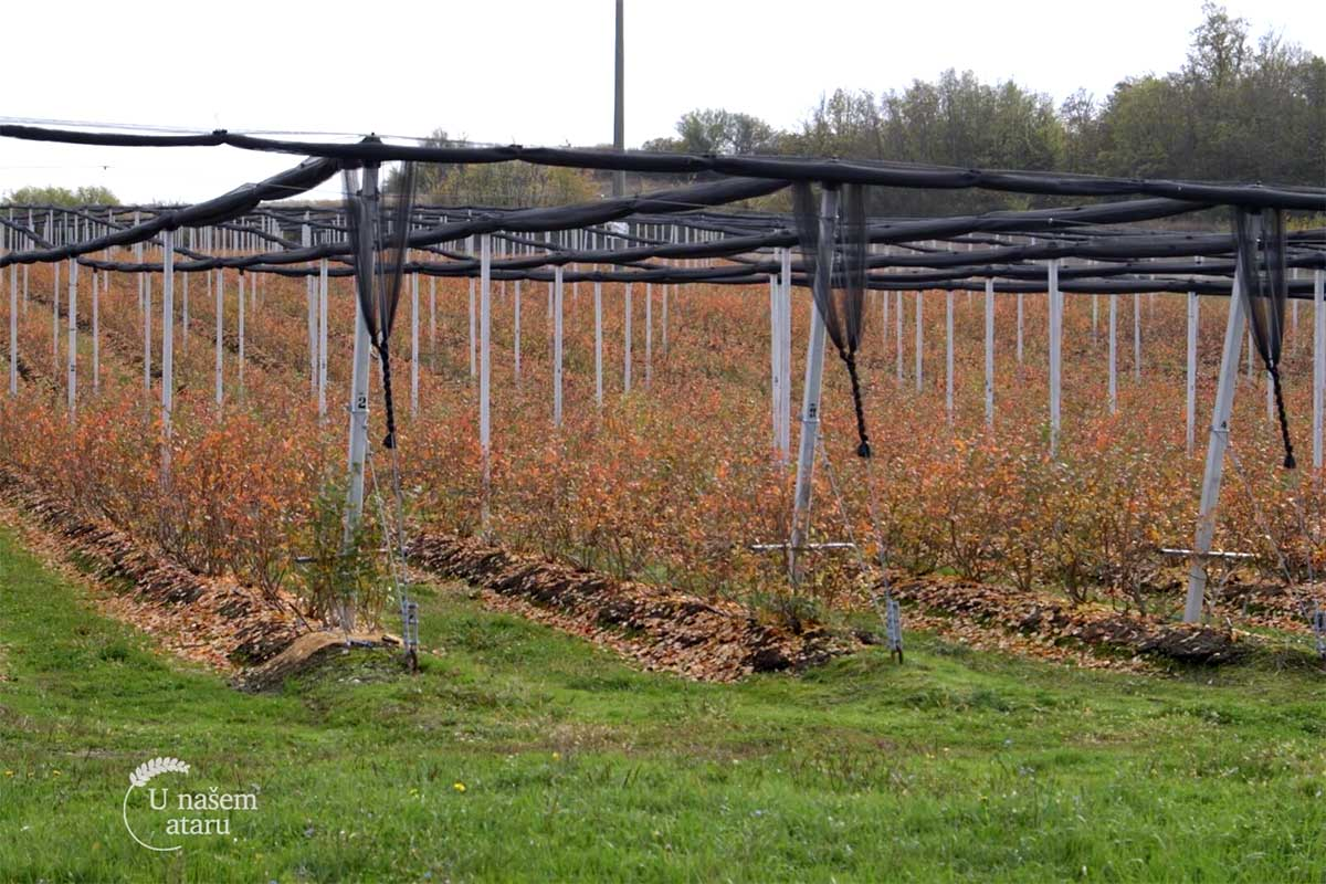 Agrosaveti---sadnja-borovnica---03